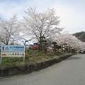 写真: 桜がお出迎え