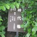 Photos: 神代欅の看板