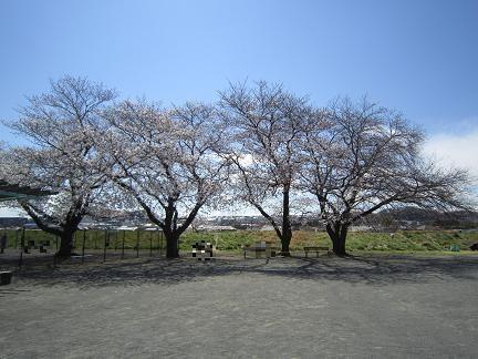 ドックランの桜