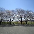 Photos: ドックランの桜