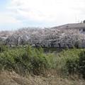 Photos: 高幡団地近くの桜