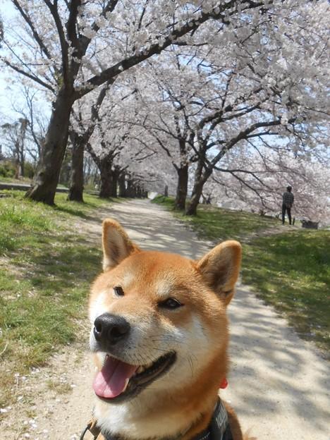 桜と柴犬1