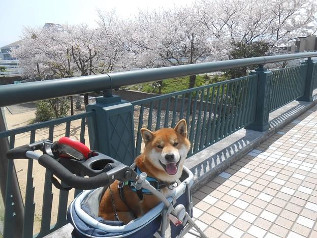 桜と柴犬3