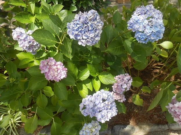 アジサイがまだ咲いてました。