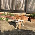 Photos: 後ろにも柴犬が!