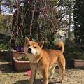 Photos: しだれ梅と柴犬1