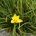 黄色のハナニラ