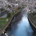 Photos: 元荒川の桜