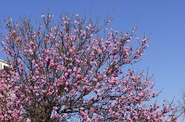 桃の花っぽい