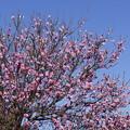 Photos: 桃の花っぽい