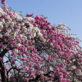 Photos: 桃の花 2