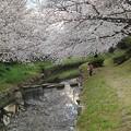 Photos: 桜2