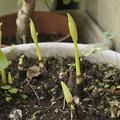 シロバナマンジュシャゲの花芽