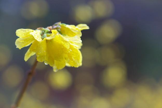 写真: 黄の春