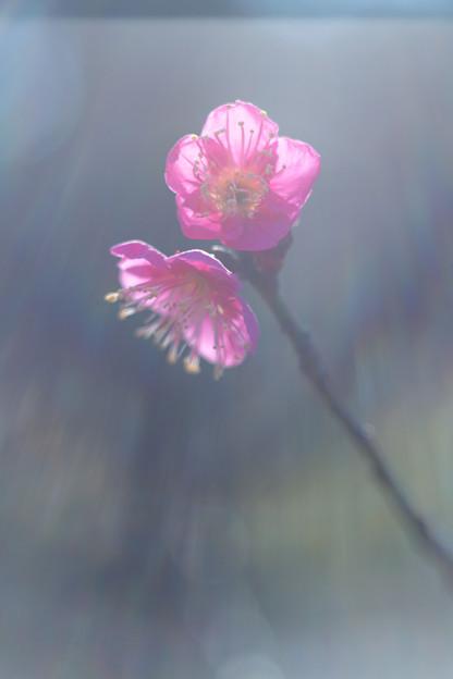 梅の朝(紅)