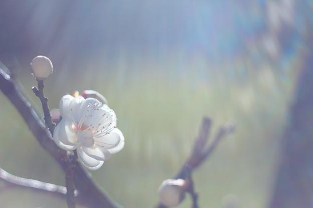 梅の朝(白)