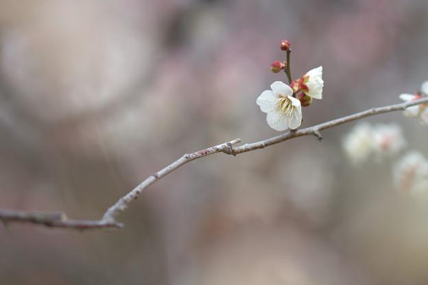 Photos: 白い春