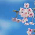 Photos: 蒼天の桜