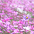 Photos: 秋桜畑