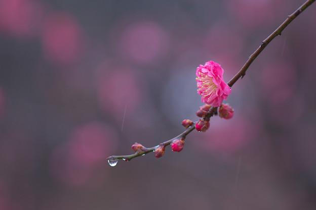 Photos: 春待の雨