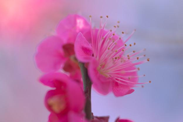 Photos: 薄紅の蘂
