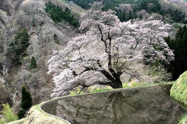 2021  3-4 カレンダー候補 駒つなぎの桜