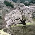 Photos: 2021  3-4 カレンダー候補 駒つなぎの桜