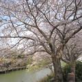 写真: 長池と満開の桜(2)対岸の通路も