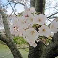 写真: 長池の桜 (5)