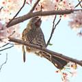 写真: ヒヨドリさん(1)桜の花の蜜を吸う