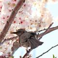 写真: ヒヨドリさん(2)くちばしに黄色い花粉