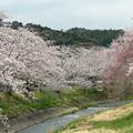 写真: 敷地川沿いの桜並木 (1)