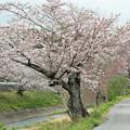 写真: 敷地川沿いの桜並木 (4)