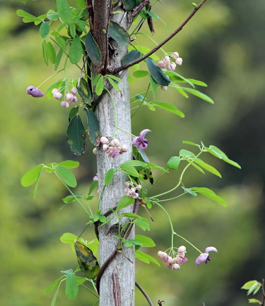 あけびの雄花と雌花  五葉あけび 木にまきついて上へ