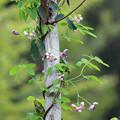 写真: あけびの雄花と雌花  五葉あけび 木にまきついて上へ