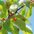 写真: 河津桜のサクランボ(2) 青空に 赤くなってきました