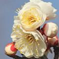 白梅の花(2)