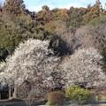 白梅の花(3) 遠景