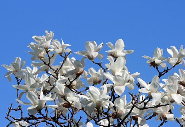 白木蓮の花(1) 青空に 今年も
