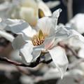 白木蓮の花(3) 花の中