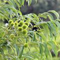 写真: 若い緑の 栗の実