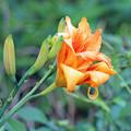 写真: ヤブカンゾウの花