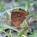 写真: クロコノマチョウ  枯葉そっくりの蝶さん