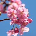 写真: 河津桜の花(3)  ふんわり