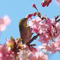 写真: メジロさん 河津桜に(4)
