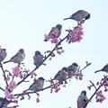 写真: スズメさんが、桜に鈴なり