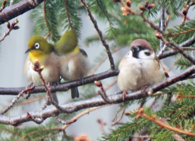 メジロさんペア (5) 仲良くシンクロ 一羽が羽繕い