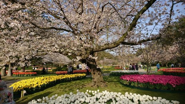 フラワーパークの桜(2)
