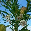 Photos: フウセントウワタの花と実