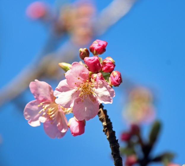 河津桜 咲き始めました\(^o^)/♪